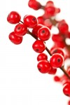 holly berry